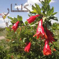 Shahram Malekzadeh - 'Golnar'